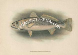 Squeteagur; Weakfish